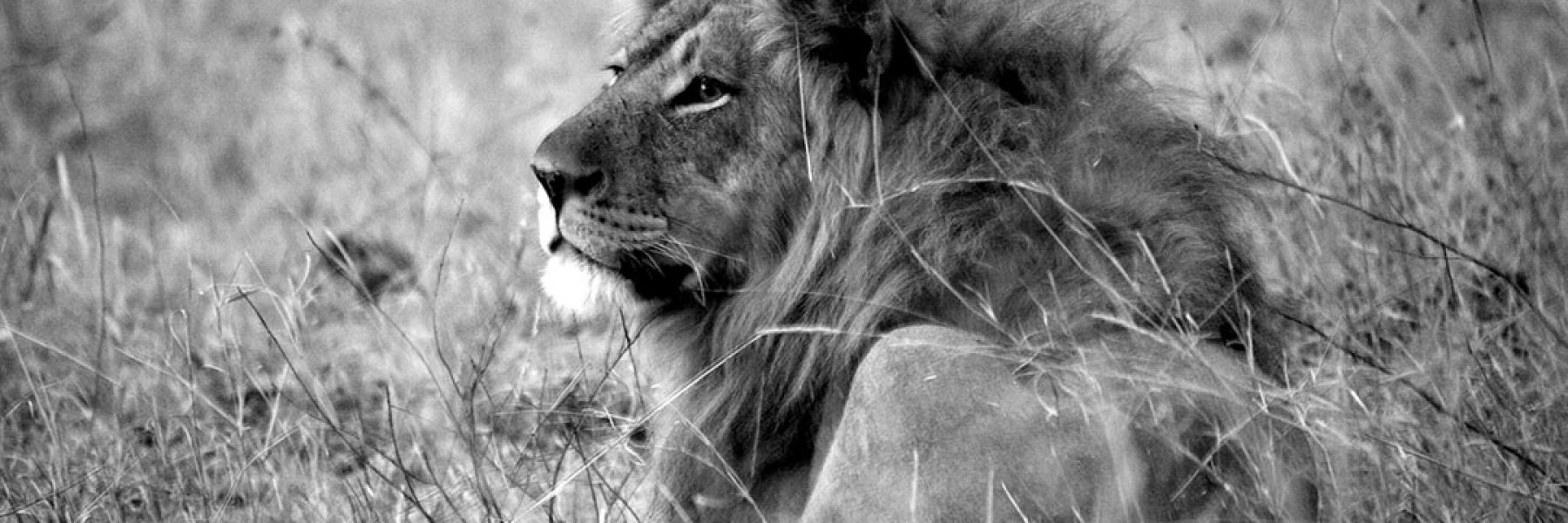 b&w lion male in the grass_1080